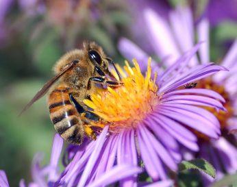 1024px-european_honey_bee_extracts_nectar