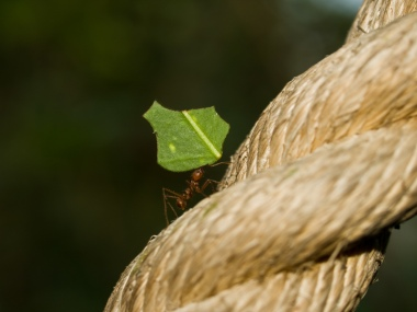 Leaf cutting ant at the London Butterfly House in Syon Park